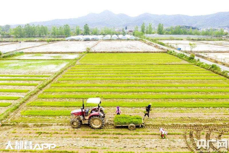 江西都昌:谷雨时节栽早秧